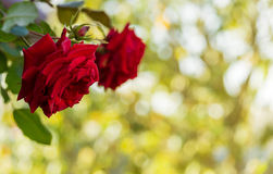 Red roses on blurred background. Red roses on a blurred background of trees in the garden Royalty Free Stock Photography