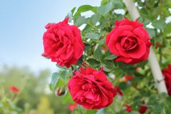 The red roses in the Botanical Garden, Simferovol city, Crimea Stock Photography