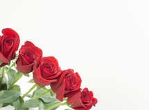 Red roses in the bottom left corner. A row of dark red roses that in the corner on the left side. the buds are close to each other and have contrast with white Royalty Free Stock Photography