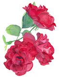 Watercolour Bouquet of Red Roses. Watercolour hand drawn isolated Bouquet of three Red Rose buds, well for selebration invitations stock illustration