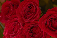 Red roses bouquet, close-up, macro image. Abstract background. Close-up of a red roses bouquet with dew drops, macro image. Abstract background Royalty Free Stock Photos