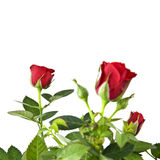 Red roses bouquet isolated on white Stock Photo