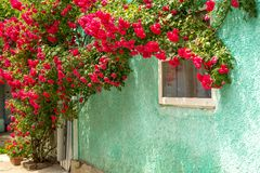 Red roses braided wall near the window. Red roses bushes and fallen petals on the ground near old rural house. Roses around a country house window.. Vacation royalty free stock image