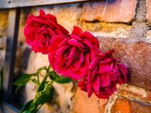 Red roses on brick wall Stock Photography