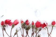 Red roses bud in white snow in winter. Red roses bud in snow in winter, frozen flower in cold white background royalty free stock photo