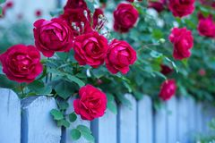 Red roses with buds on a background of a green bush. stock image
