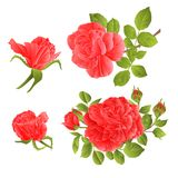 Red roses with buds and leaves vintage  on a white background set first vector illustration editable. Hand draw Stock Photos