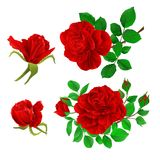 Red roses with buds and leaves vintage  on a white background set first vector illustration editable. Hand draw Royalty Free Stock Images
