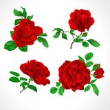 Red roses with buds and leaves vintage on a white background set three vector illustration editable Royalty Free Stock Photo