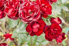 Red roses on a bush. Stock Photo