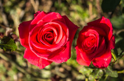 Red Roses on a bush Royalty Free Stock Photo