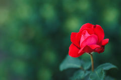 Red roses bush Royalty Free Stock Image