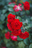 Red roses bush Stock Images