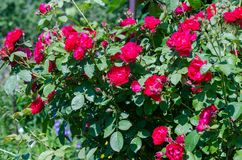 Red roses bush in garden on bright summer day stock image
