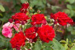 Red roses on a bush in the garden. Natural background royalty free stock photography