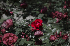 Red roses. Bush of red roses lit by the spring sun Stock Photos