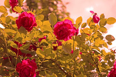 Red roses on the bush over blue sky Royalty Free Stock Image