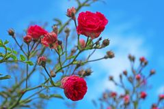 Red roses on the bush over blue sky Stock Photo