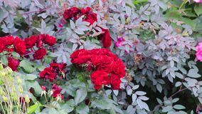 Red roses on a bush. Panning past red roses on a bush stock video footage