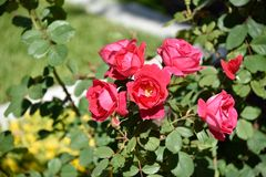 Red roses in bush. A red rose bush growing in the garden Royalty Free Stock Photos
