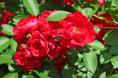 Red roses on the bush in the spring garden Royalty Free Stock Photos