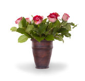 Red roses in ceramic pot Royalty Free Stock Images