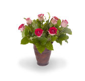 Red roses in ceramic pot Stock Image
