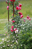 Red roses climbing onmetal arbor. Red climbing rose and white flowers on metal arbor Stock Image