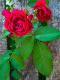Red roses climbing on the wooden fence royalty free stock image