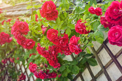 Red roses climbing on wooden fence Stock Images