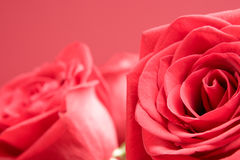 Red roses close-up stock image