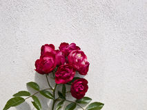 Red roses. Close up of red roses Royalty Free Stock Photos