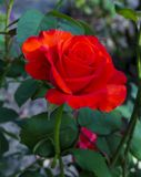 Red roses close up. Background. Royalty Free Stock Image