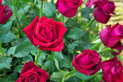 Red roses close up Stock Images