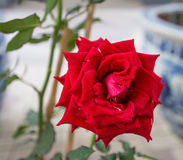 Red roses close up. Royalty Free Stock Photography