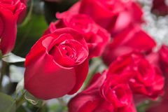 Red roses close up. Background Royalty Free Stock Image
