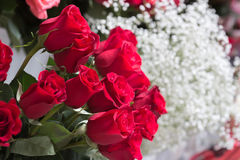 Red roses close up. Background Royalty Free Stock Photo