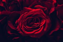 Red roses in a close-up royalty free stock images
