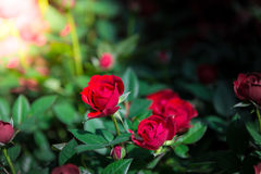 Red roses close up Stock Photos