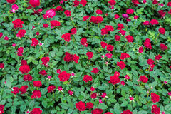 Red roses close up Stock Photo