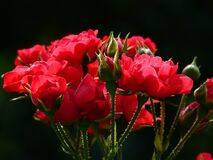 Red Roses Close Up Photography Royalty Free Stock Photos