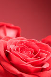 Red roses close-up on the red background Royalty Free Stock Images