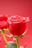 Red roses close-up on the red background Stock Photography