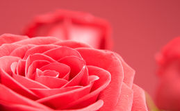 Red roses close-up on the red background Stock Images
