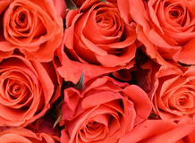 Red roses. Close up of red rose petals Stock Images