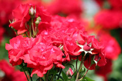 Red roses close up Royalty Free Stock Photography