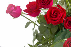 Red roses closeup on white background Stock Photography