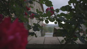 Red roses on a cloudy day in Tuscany stock video footage