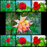 Red roses collage stock image
