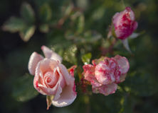 Red roses covered with dew. Three red roses covered with dew on a blurred background of green foliage Royalty Free Stock Photos